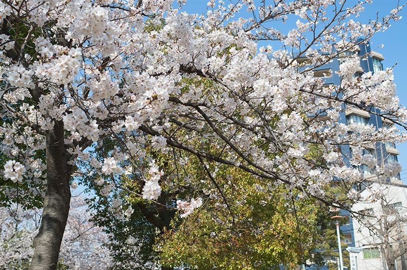 Cherry blossoms in Mitejima East Park