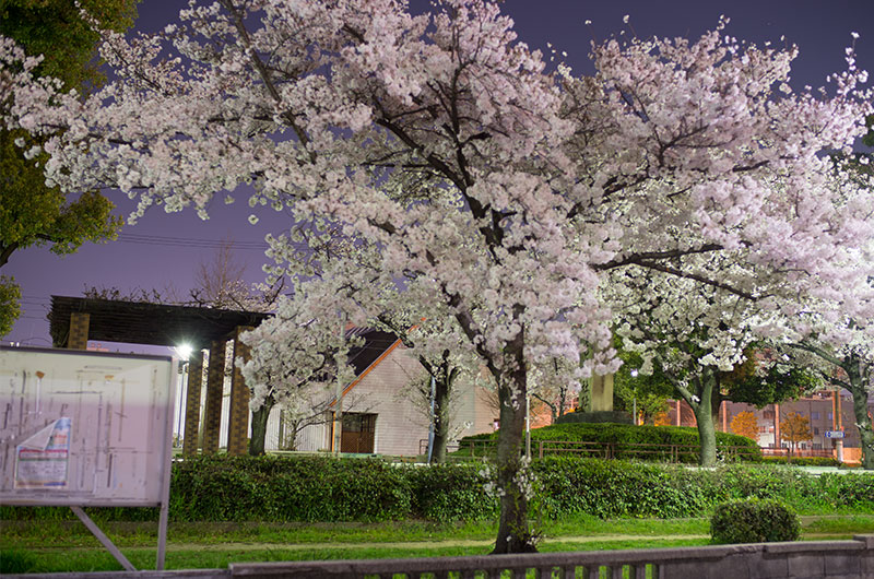 Cherry blossoms in Mitejima Park