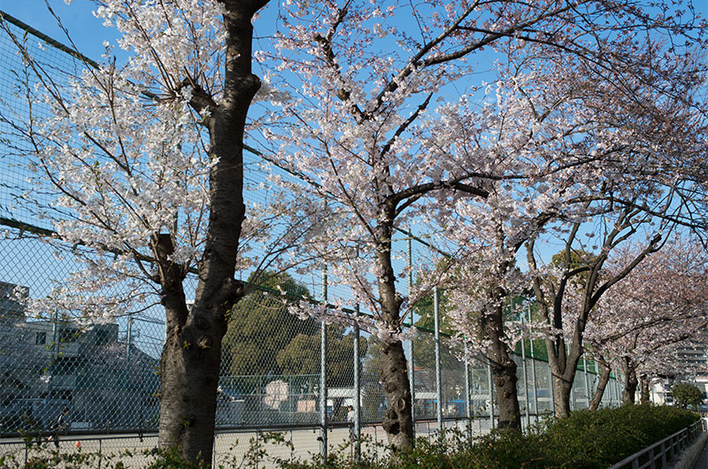 Cherry blossoms in Shintsukuda Park
