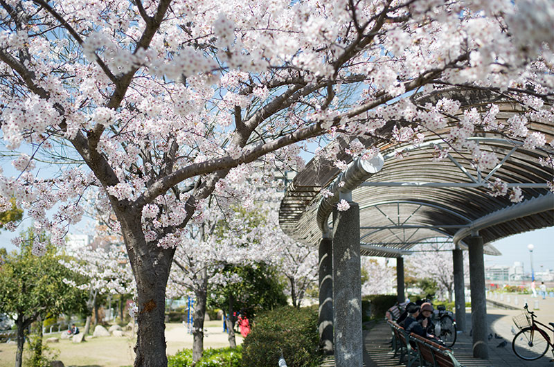 Cherry blossoms in Tsukuda Fureai Park