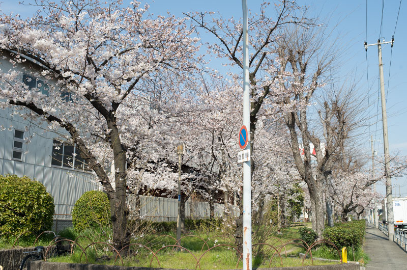 Cherry blossoms in Takeshima South Park