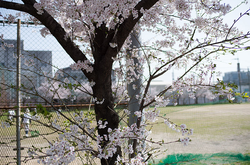 Cherry blossoms in Tsukuda Park