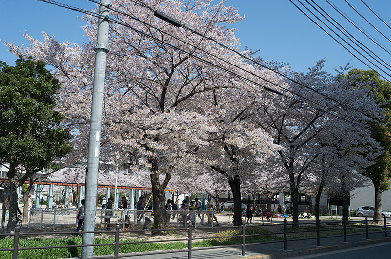 Cherry blossoms in Chibune Park