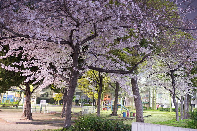 Cherry blossoms in Nozato Park