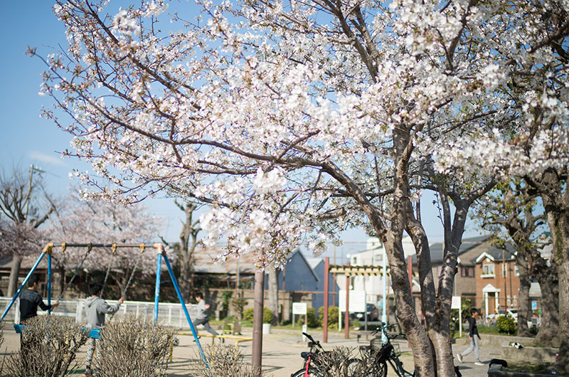 Cherry blossoms in Hanakawa West Park
