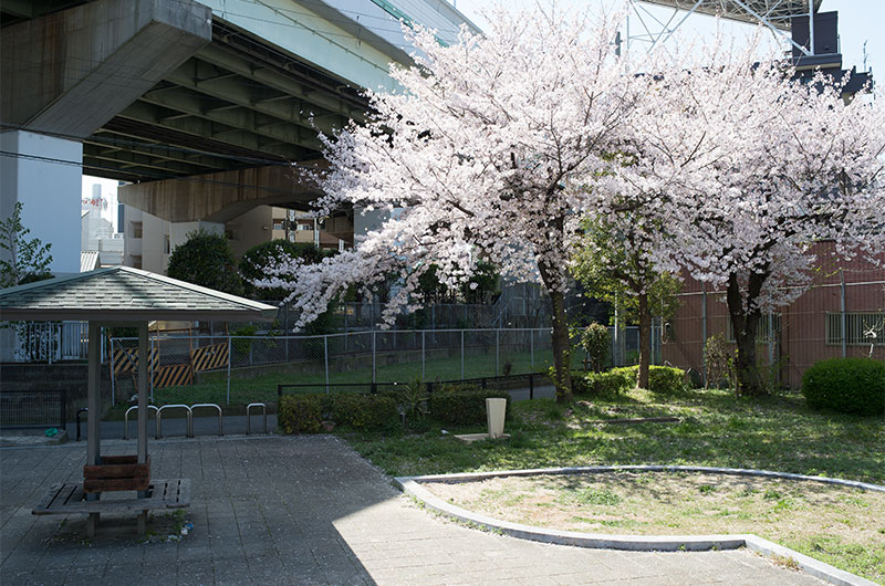 Cherry blossoms in Ohwada Chuichi Park