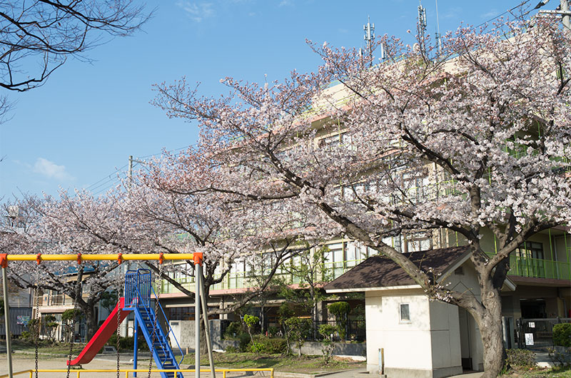 Cherry blossoms in Ohwada North Park