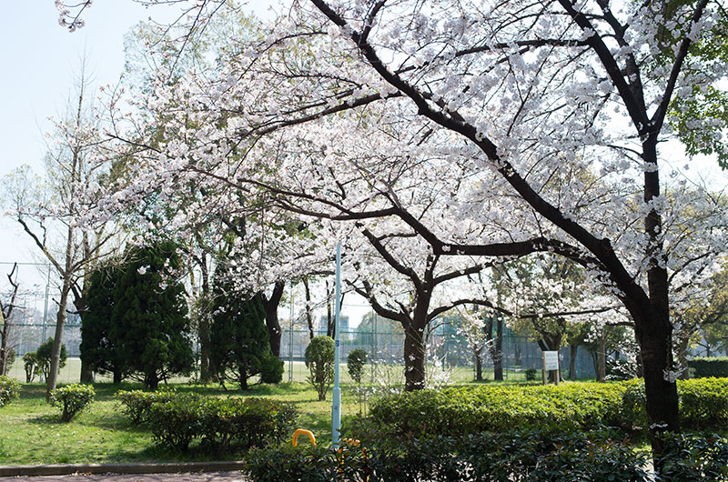 Cherry blossoms in Nishiyodo Park