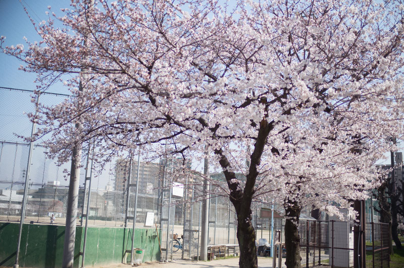 Cherry blossoms in Utajima Park