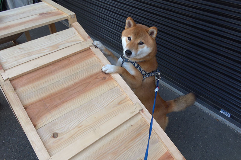 Shiba Inu's Amo-san is interested in wooden slope