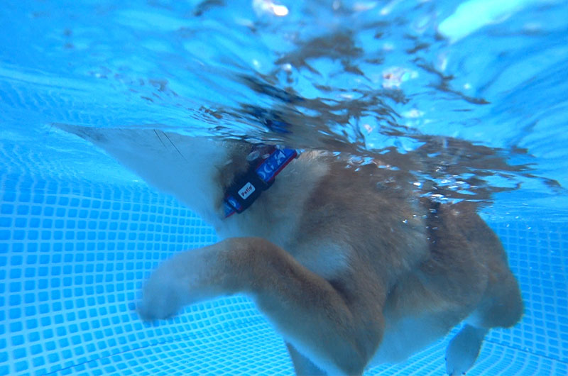 Shiba Inu's Amo-san dog-paddling taken by underwater camera