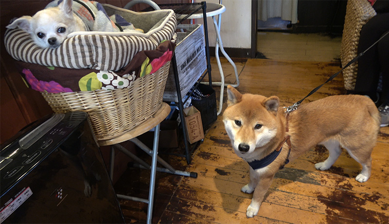 Living cafe(リビングカフェ) 店内 看板犬のチワワ武蔵くんと柴犬亜門さん